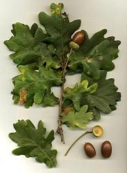 Листья и жёлуди дуба
