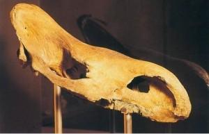 Череп ископаемого носорога, хранимого в Земельном музее Каринтии