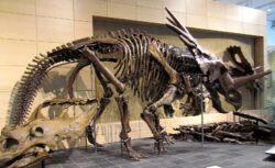 Styracosaurus skeleton